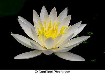 water lilly - white water lilly