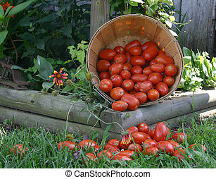 home grown tomatoes in a wood basket, , spilling over