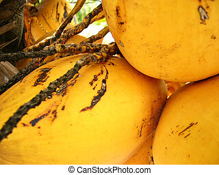 Coconuts - Close-up shot of yellow coconuts