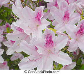 "Azaleas - The Beautiful ""Pride of Alabama"" in full Bloom"