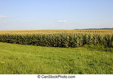 Corn Field - Photo of Corn Field.