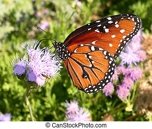 Monarch - A butterfly on a flower