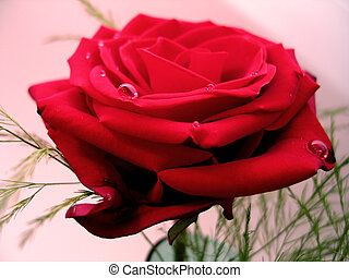 A red rose - A pretty red rose with baby's breath in a green...
