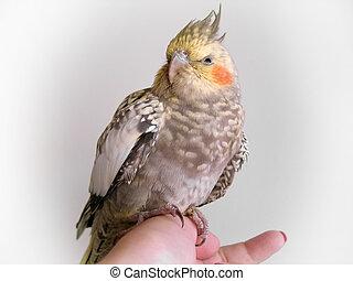 Cockatiel 2 - A cockatiel bird perched on a hand.