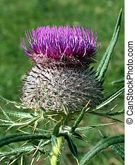 Thistle - Digital photo of a thistle