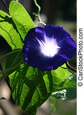Morning Glory - Beautiful blue morning glory greets the day....