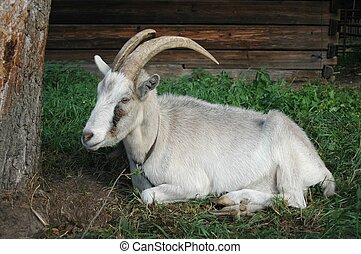 Goat under a tree.