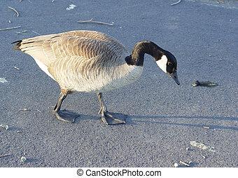 Canadian Goose - Walking goose