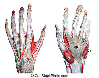 2 hands for medical study