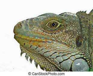 Iguana - A really big Iguana