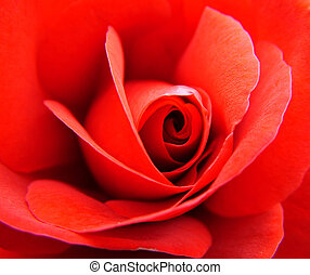 Red rose - Beautifull rose from Slovenia! regards, Miha...