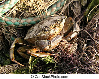 crab bycatch - small dryied out crab left tanged in...