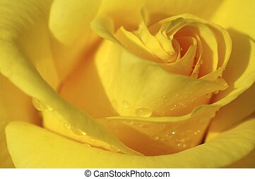 rose drops - drops of rain on a yellow rose