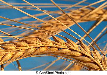 Corn - Digital macrophoto of corn taken in germany