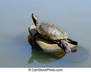 Turtle sunbathing on a rock