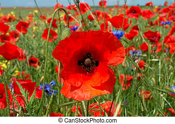 Poppy - Digital photo of a poppy in a field of poppies taken...