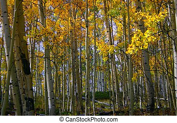 Aspens 8083 - Golden aspens glimmer in autumn sunshine on Mt...