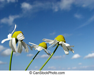 3 in the wind - camomiles in front of a blue sky
