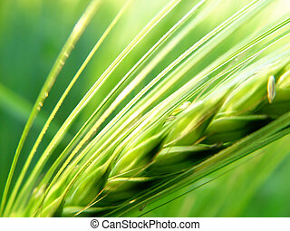 barley spike - macro of the grain