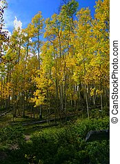 Aspen Glade 8037 - Aspen trees exhibit their golden Autumn...