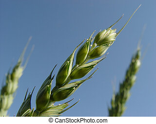 wheat spike and blue sky