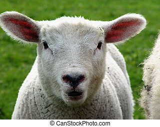 lamb - oh - lamb on a meadow