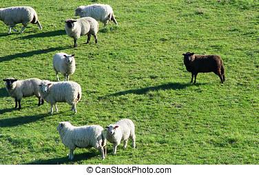 negro, sheep