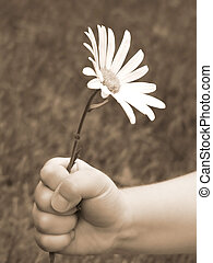 for you 2 - childs hand holding daisy in sepia great for...