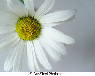 summer daisy white - closeup of a marguerite
