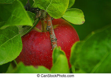 Apple in Leaves - A bright red apple as seen through the...