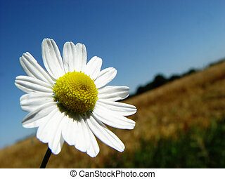 camomile - just couldn't pass by ...