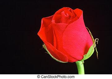 Red rose I - Red rose