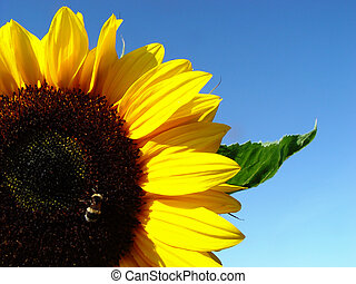 sunflower - with bee and leaf in front of a blue sky