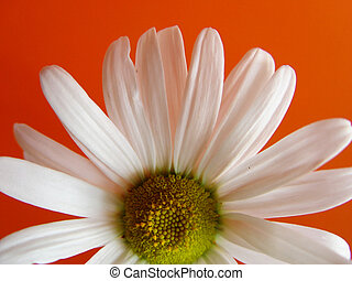summer daisy orange - closeup of a marguerite