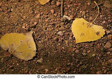 Aspen Leaves - Fallen yellow aspen leaves form abstract...