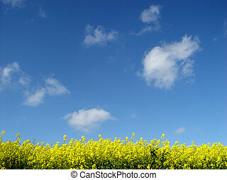 golden canola field - and blue sky