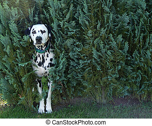 dog in bush - dalmatian guarding his garden
