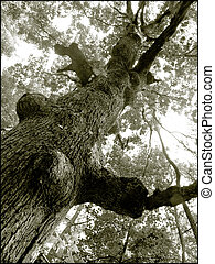 Old Tree - Gnarled old tree in black and white