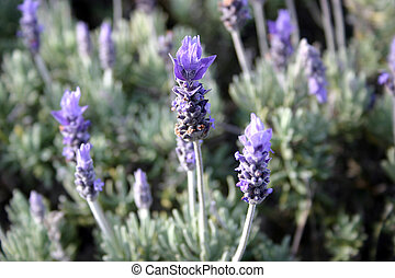 Fields of lavender - This is a common herb - Lavender - it...