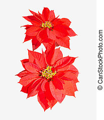 Poinsettia 5 - the poinsettia is also know as the Christmas...