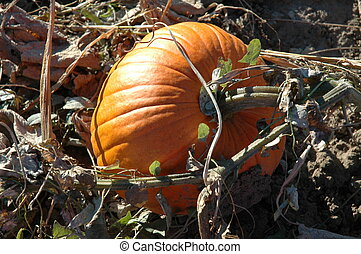 Pumpkin on the Vine - took this photo October 12, 2004 at...
