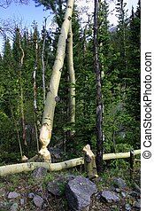 Beaver Trees - Aspen trees and stumps show where beavers...