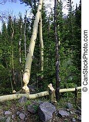 castor, árboles