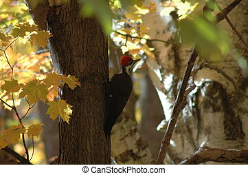 Woodpecker - took this pic October 11, 2004 in Ahmic...