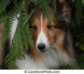 Sheltie posing in ferns