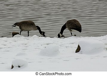 Geese in Snow - Canadian geese are foraging for food along...