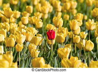 Outstanding - Single red tulip in field of yellow