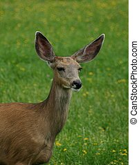 Mule Deer Doe - Close-up head shot of mule deer doe which...