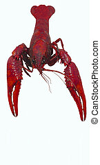 Isolated Crawfish - The isolation of a most tasty southern...