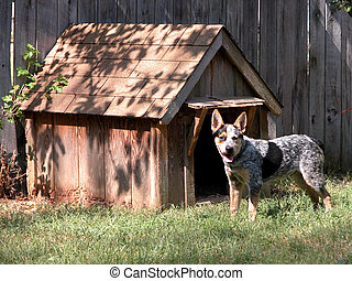 Hot Dog - Blue Heeler standing outside his little wooden...